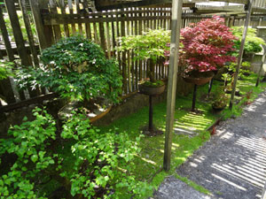 Image of lattice fencing providing shade for maple bonsai trees