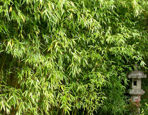 Photo of tall Semiarundinaria Fastuosa bamboo with a stone pillar lantern