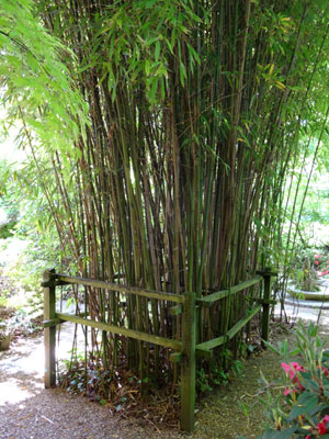 Image of a clump of bamboo, edged by a fence and pathway
