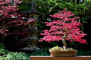 Japanese Garden Design Photo Showing A Beautiful Deshojo Maple Bonsai In The Spring