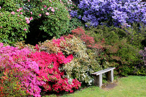 Picture of flowering azaleas, covered with colourful blooms in the springtime