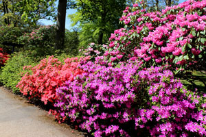 Photo of brightly coloured rhododendrons lining a pathway in the springtime