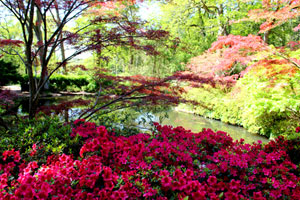View of a landscaped garden, with red azalea flowers in the foreground and a koi pond in the background
