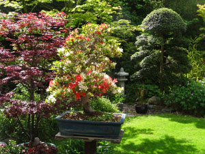 Picture of azalea bonsai tree in Japanese garden, with a mixture of red and white flowers