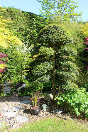 Photo of large Japanese cloud tree, created from oval-leaved Italian privet (ligustrum ovalifolium)