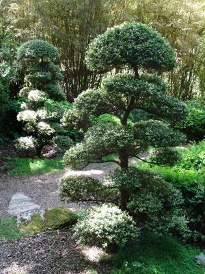 Photo of two matching cloud trees, created from Japanese holly (ilex crenata)