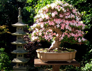 Photo showing a tall five-tier pagoda with azalea bonsai