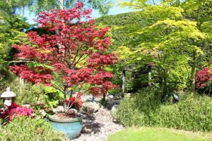 Photo of purple 'Skeeter's Broom' acer palmatum tree growing in a glazed pot, in an oriental garden