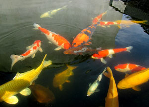 Photo showing kahaku, sanke, ogons and other types of koi carp