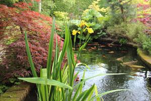 Image of flowering iris plants growing in koi pond