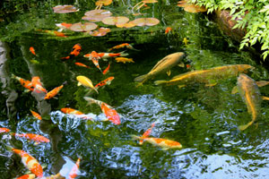 Picture of different koi carp fish, including kohaku and sanke colours