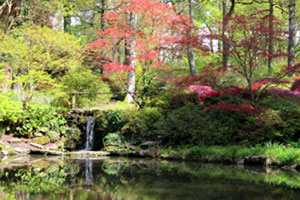 Picture of large koi pond surrounded by Japanese mapes and small azaleas