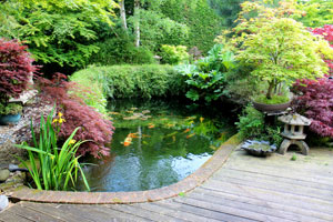Photo of an irregular shaped koi pond edged by timber decking