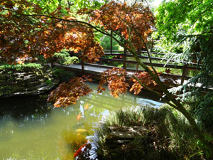 View of colourful carp swimming beneath a bridge, by Japanese maples