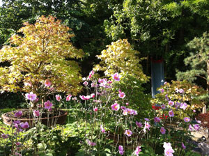 Picture of Japanese anemones in full flower, growing beneath group of bonsai trees
