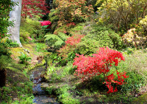 View of stream, waterfall, maples and spreading azalea bush covered with red flowers