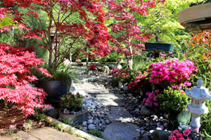 Photo of stepping stone pathway, edged with pebbles, pots of Japanese maples, flowering azaleas and a small granite Kasuga lantern