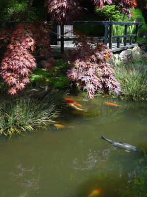 Photo of tea house overhanging a koi pond, with colourful fish swimming by